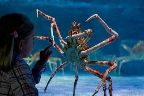 松叶蟹和帝王蟹的区别_WWW.66152.COM