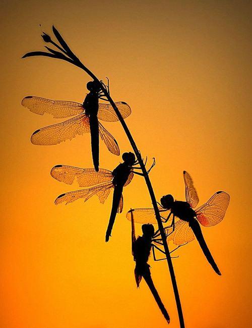 晚霞映红蜻蜓图片大全_WWW.66152.COM