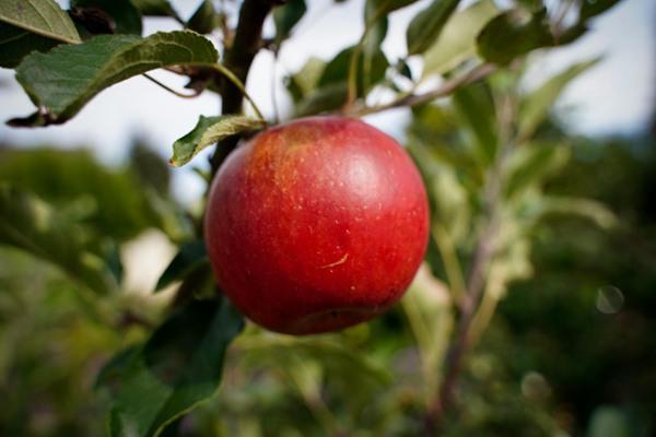 新鲜的苹果图片_WWW.66152.COM