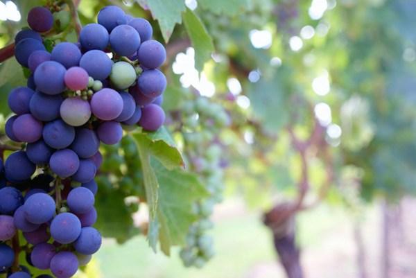 营养丰富酸甜可口的葡萄图片_WWW.66152.COM