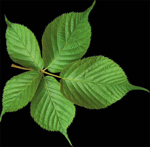 绿色的叶子素材图片_WWW.66152.COM