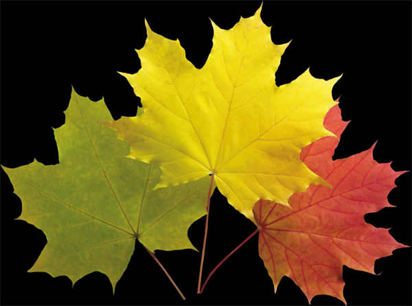 树叶png透明背景素材图片_WWW.66152.COM