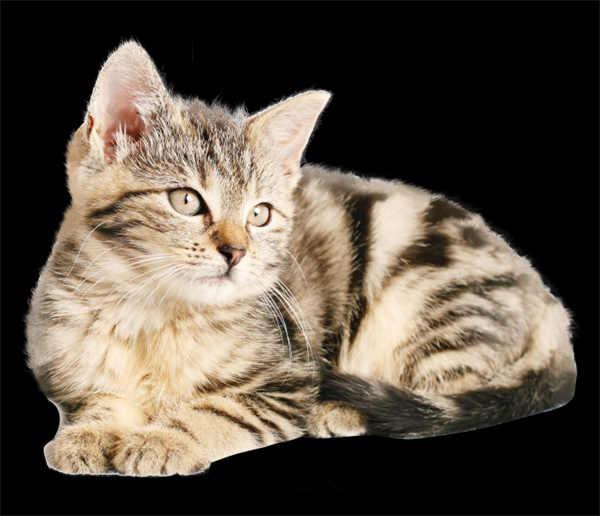 png免抠图猫咪素材图片_WWW.66152.COM