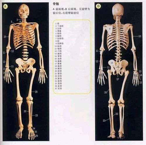 人体解剖图谱_WWW.66152.COM