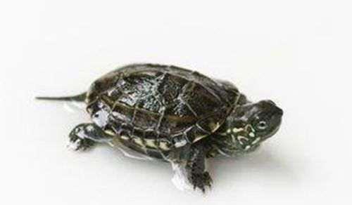 乌龟最常见的病症 肺炎感冒_WWW.66152.COM