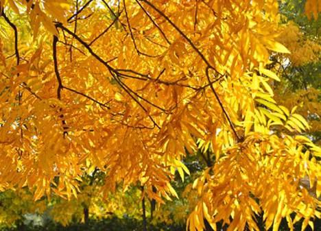 秋天树叶为什么会变黄_WWW.66152.COM