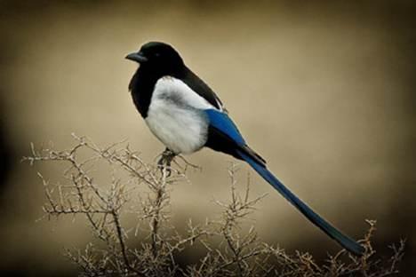 喜鹊是能从镜子里看到自己的非哺乳动物_WWW.66152.COM