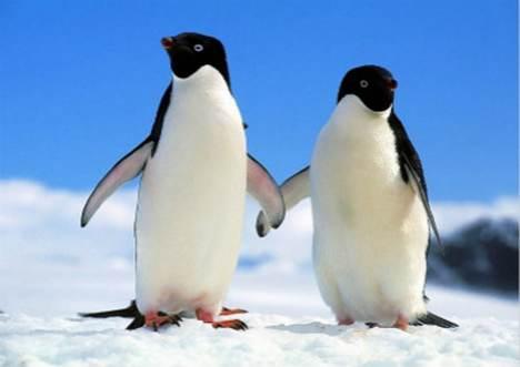 阿德利企鹅为何怕黑_WWW.66152.COM