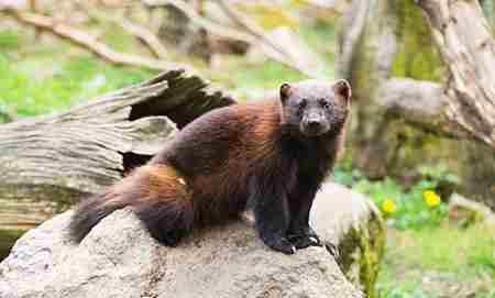 北极狐的12大生活习性_WWW.66152.COM