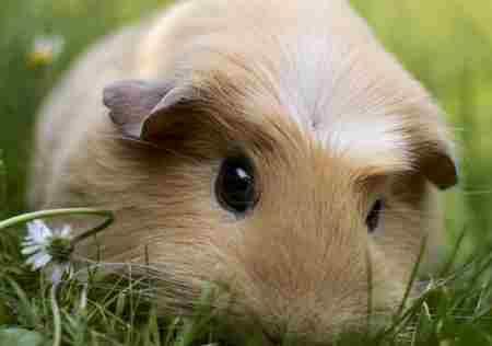 几内亚猪是猪吗_WWW.66152.COM