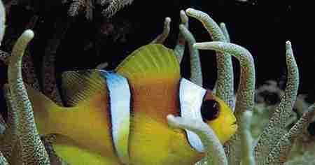 小丑鱼图片大全_WWW.66152.COM