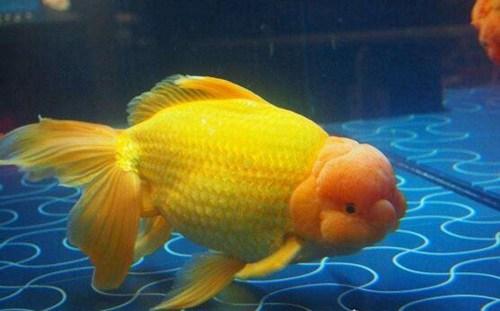 世界上最大的金鱼_WWW.66152.COM