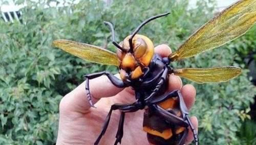 世界上最大的黄蜂有多大_WWW.66152.COM