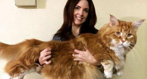 体型最大最长的4只猫咪_WWW.66152.COM
