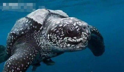 最大的乌龟品种有多大_WWW.66152.COM