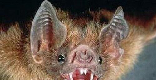 世界上最凶猛的蝙蝠图片_WWW.66152.COM