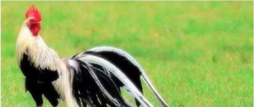 世界上羽毛最长的鸟_WWW.66152.COM