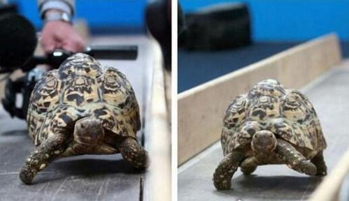 世界上爬行最快的乌龟_WWW.66152.COM