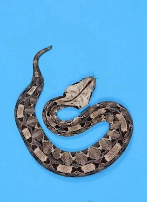 世界上毒牙最长的蛇_WWW.66152.COM