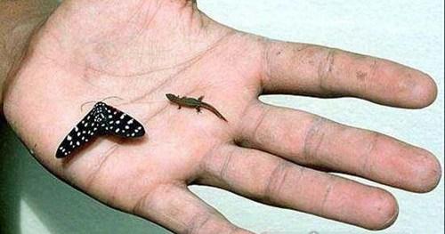 世界上最小的壁虎_WWW.66152.COM