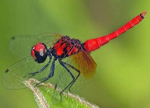 世界上最小的蜻蜓_WWW.66152.COM
