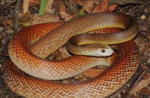 世界上最大的毒蛇_WWW.66152.COM