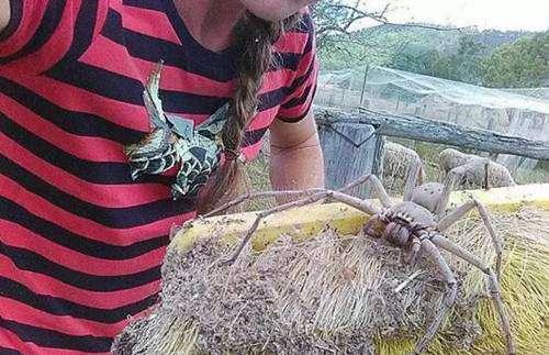 世界上最大的蜘蛛王图片_WWW.66152.COM