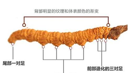 冬虫夏草之谜_WWW.66152.COM