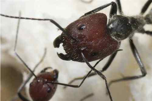 头部完全呈现红色的蚂蚁_WWW.66152.COM
