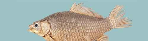 """为什么称银鲫是日疋鱼类中的""""女儿国?_WWW.66152.COM"""