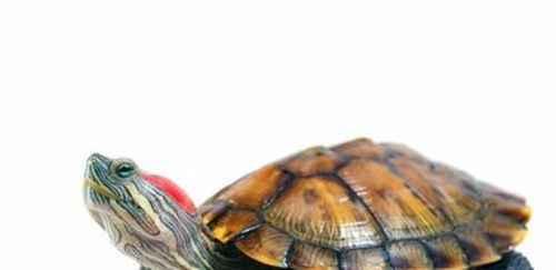 如何养殖巴西龟_WWW.66152.COM