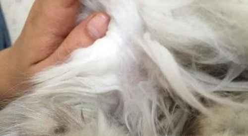 猫大片掉毛是什么原因,猫掉一块毛是什么原因_WWW.66152.COM