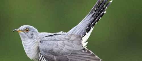 杜鹃为什么要把蛋下到别的鸟巢里?_WWW.66152.COM