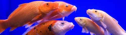 观赏鱼的颜色为什么特别鲜艳夺目?_WWW.66152.COM