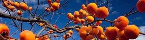 吃柿子的禁忌都有哪些?_WWW.66152.COM