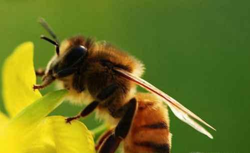 被蜜蜂蛰了怎么办,怎么处理?_WWW.66152.COM