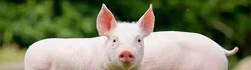 非洲猪瘟是如何传入中国的?_WWW.66152.COM