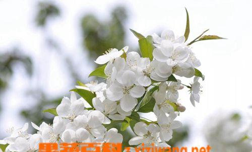 山荆子怎么嫁接茶花_WWW.66152.COM